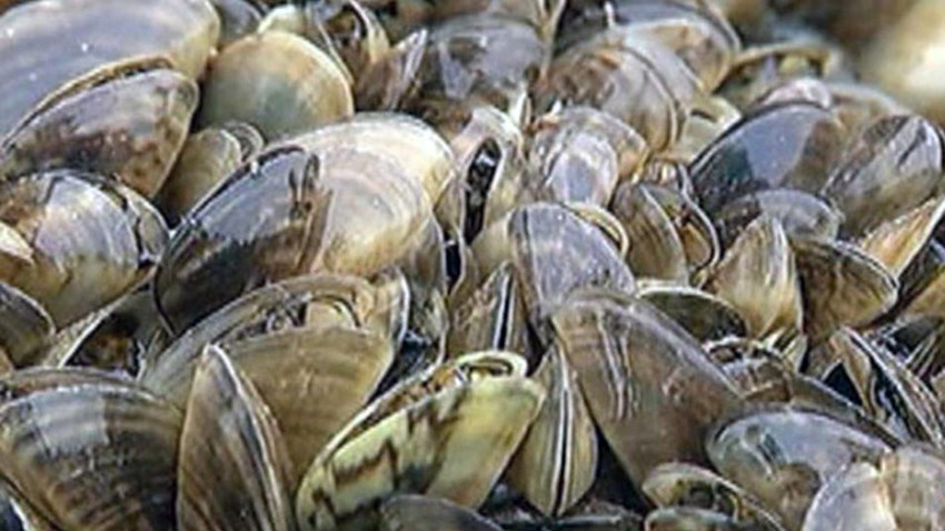 FLBS Position on Mussel Detection