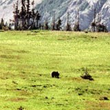 Grizzly bear digging Glacier Lillies in the meadow above Logan Pass