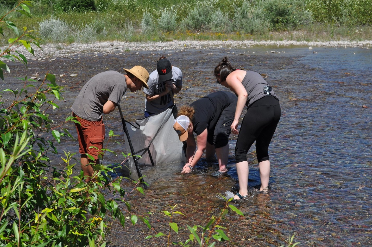 Demonstrating sample collection using a kicknet in a Flathead River side channel