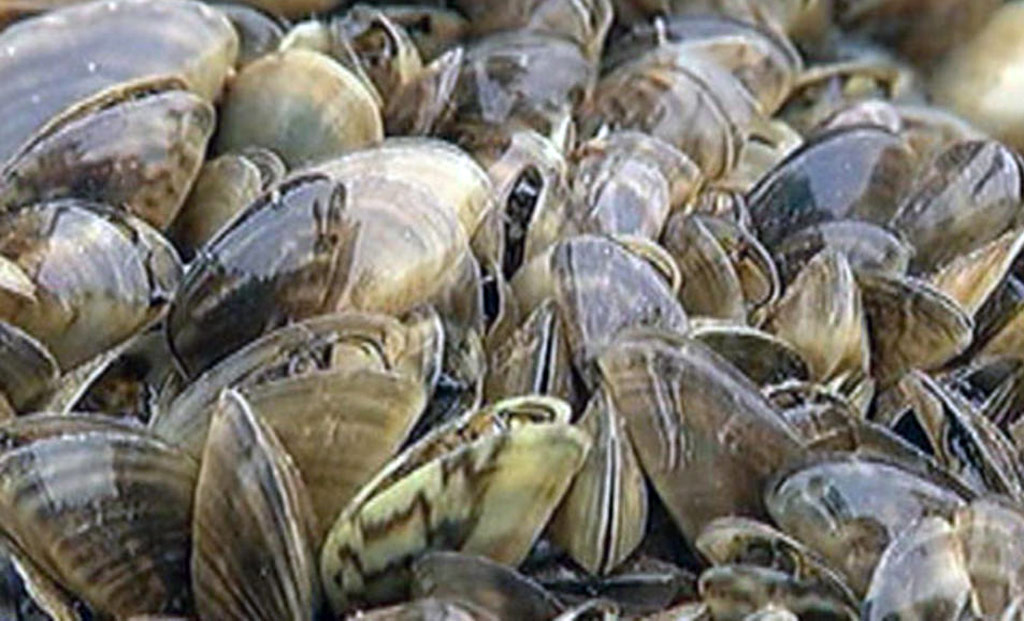Closeup of zebra mussels