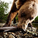 Field camera closeup of Kodiak brown bear eating a salmon