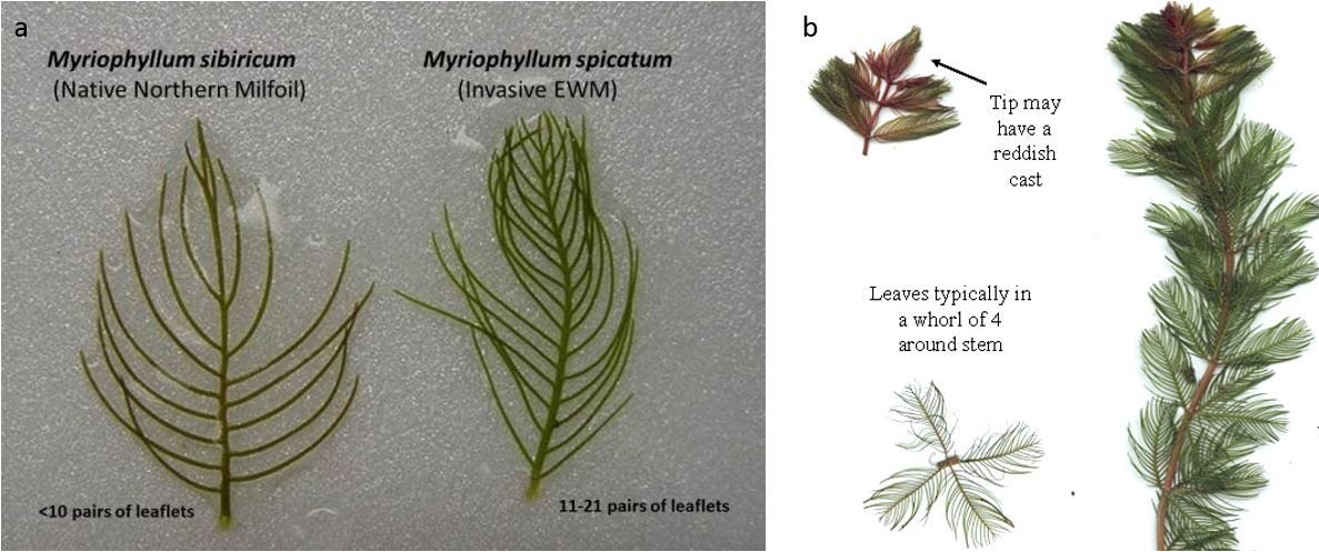 Visual differences between native and invasive milfoil
