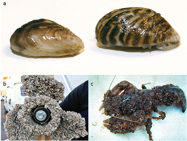 Comparison of quagga and zebra mussels, and a boat propeller and crayfish covered in mussels