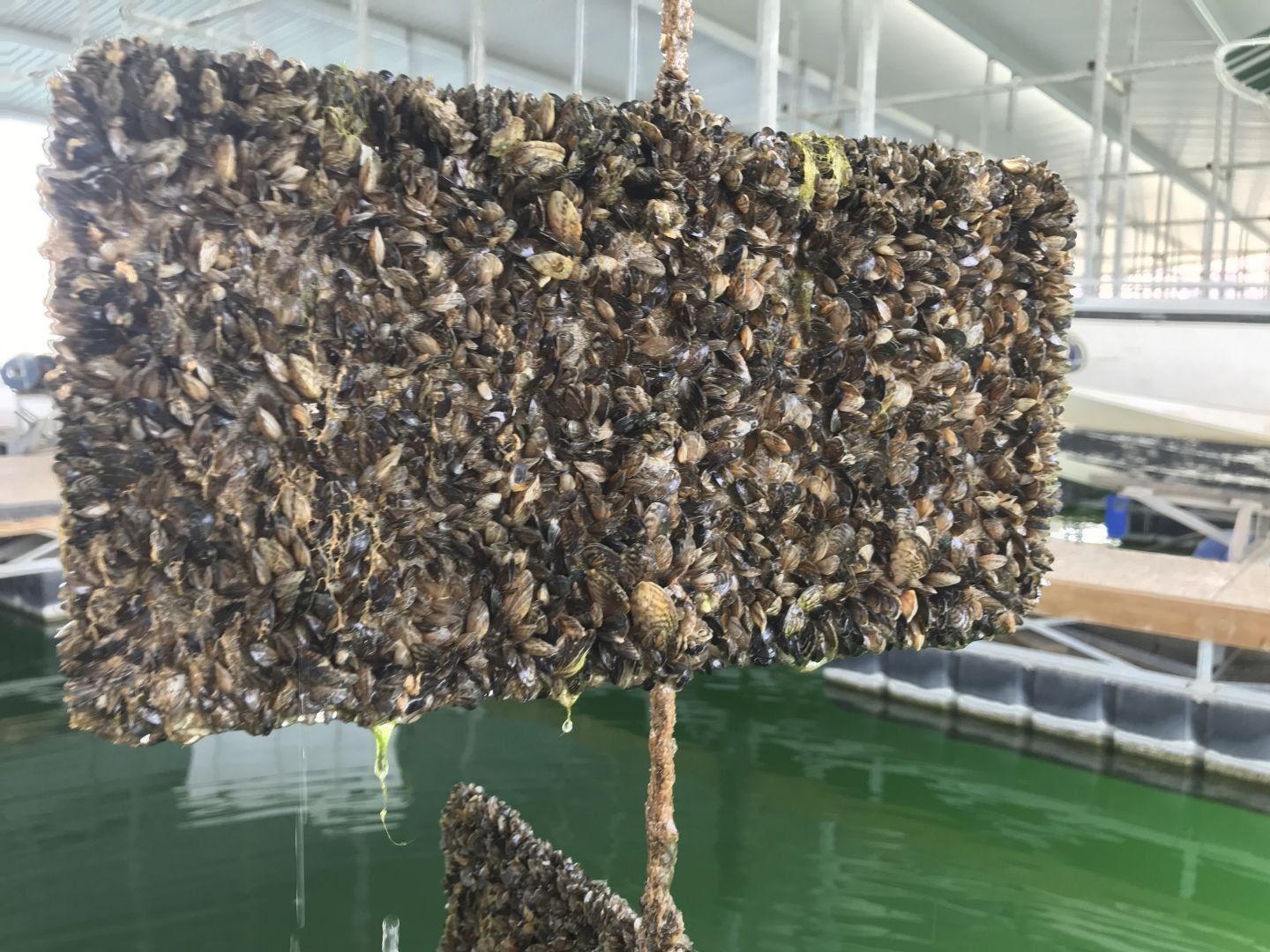 Zebra mussels coat entire surface of lake signage