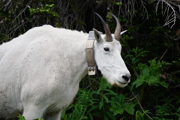 Collared Mountain Goat